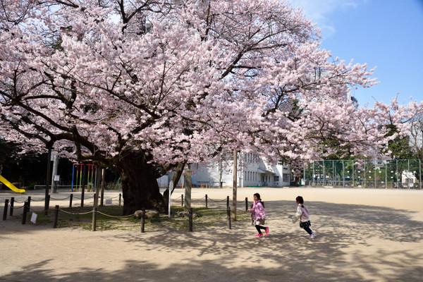 Tourokunosakura04