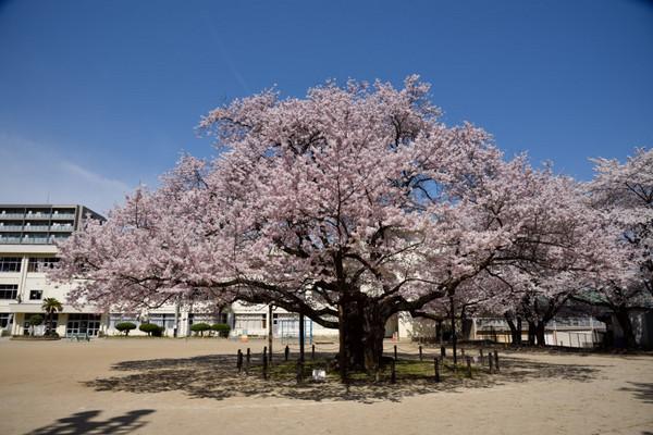 Tourokunosakura05